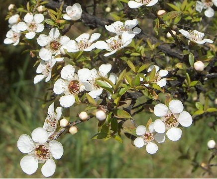 Manuka in bloom